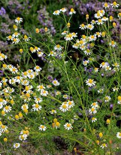 Plantas e Flores do Areal - Endemismos de Portugal: Matricaria recutita L.  Alguns sinónimos: Chamomilla recutita (L.) Rauschert; Matricaria chamomilla L.;