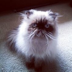 Persian Cat - Gypsy -