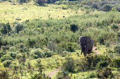 Elephant walking down the path  Elephant walking down the path leading to the watering hole.