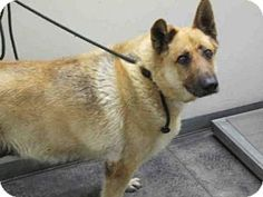 6/14/16*** Please Share RUTHIE! **05/16/16-URGENT! High Kill L.A. Shelter! Pictures of A1625821 a German Shepherd Dog Mix for adoption in Los Angeles, CA who needs a loving home.