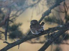 Varpuspöllö Pygmy owl