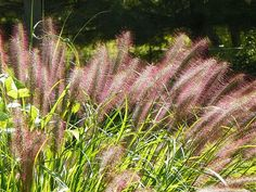 Pennisetum alopecuroides 'Red Head' (Lampenpoetsersgras) Landscape Sketch, Landscape Architecture, Balcony Garden, Balcony Ideas, Terrace, Garden Inspiration, Redheads, Beautiful Flowers, Outdoor