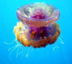 Upside down jellyfish