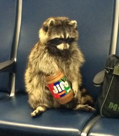 Cute Raccoon, Racoon, Cute Little Animals, Cute Funny Animals, Animal Memes, Animal Humor, Cute Babies, Funny Pictures, Hilarious Photos