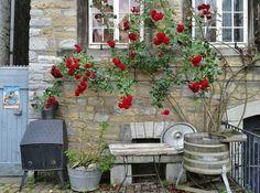 Descubre los rosales trepadores