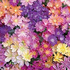 Rainbow Lewisia - An evergreen plant with star-shaped blooms of purple, pink, yellow, orange and white. Blooms for several weeks.