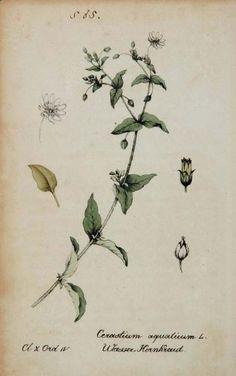 1826 Cerastium Aquaticum Flower Botanical Color Print - Hand Colored Lithograph