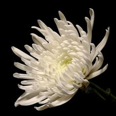 Chrysanthemum spider white