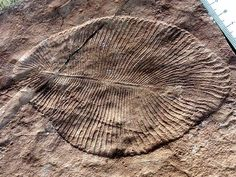 Dickinsonia costata, an iconic Ediacaran organism, displays the characteristic quilted appearance of Ediacaran enigmata. Ediacara (Vendian) biota consisted of enigmatic tubular and frond-shaped, mostly sessile organisms which lived during the Ediacaran Period (ca. 635–542 Ma). Trace fossils of these organisms have been found worldwide, and represent the earliest known complex multicellular organisms. Ediacara biota radiated in an event called the Avalon Explosion, 575 million years ago.