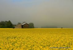 Rapeseed field. Ostrobothnia province of Western Finland. - Laihia, Pohjanmaa.