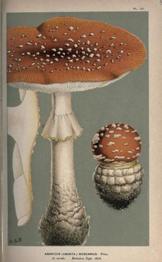 "1 - Illustrations of British Fungi (Hymenomycetes), to serve as an atlas to the ""Handbook of British Fungi"". - Biodiversity Heritage Library"