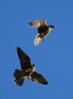Birds of Prey - Fotos de peregrineflier por Isabelle