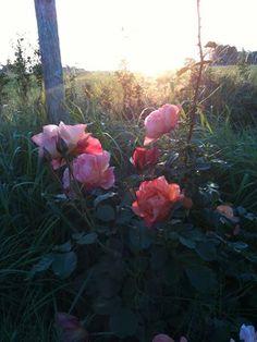 september, ros i kvällsljus