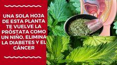 Una Sola Hoja De Esta Planta te Vuelve La Próstata Como Un Niño, Elimina...