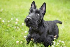 Scottish Terrier - 20 Small dog breeds that are the cutest creatures on the planet