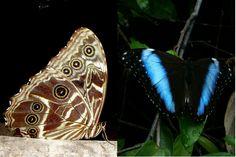 Em repouso as borboletas do gênero morpho ficam com as asas fechadas. O padrão discreto as deixam camufladas quando estão pousadas em meio às folhas secas do chão da floresta (direita). Quando elas abrem as asas (esquerda), expõem escamas iridescentes que confudem os predadores - Fotos: Fábio Paschoal