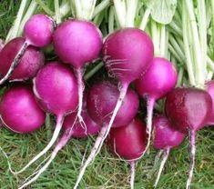 Runåbergs fröer - Plum Purple,