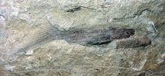 Ostracoderm fossil - Google Search Heart Sign, Prehistoric, Fossil, Google Search, Prehistoric Age, Fossils, Prehistory