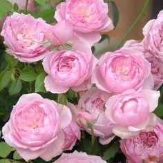 """""""本日の薔薇""""  ^^ みやこ[ Miyako]  日本 Rose Farm keiji 作 2007年  愛らしいロマンティックピンクの花。コロンコロンとしたディープカップ咲きで、まるでオールドローズのように美しいです。花もちはとてもよく、一花で2週間以上咲きつづけ、切り花にしても長く楽しめるのがうれしいです。花は寒さに強く、初冬ころまできれいに咲きます。小さな鉢でも育てやすく、初心者の方にもおすすめです。   花径:6cm 樹高:0.8m 花季:四季咲 その他:微香⇒ほのかに香るバラです   ❁~❁~❁ 12月~2月は バラの""""秋大苗""""の定植適期です ❁~❁~❁  オールドローズから人気のモダンローズ、F&Gローズまで「日本のバラのパイオニア京阪園芸」の特選秋大苗が、こちらサイトでお買い求め頂けます! ⇒ http://www.keihan-engei-gardeners.com/fs/keihangn/c/akinae"""