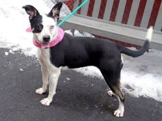 GONE 03/09/15 --- TO BE DESTROYED 03/09/15 Manhattan Center  My name is OREO. My Animal ID # is A1027561. I am a female black and white border collie and am pit bull ter mix. The shelter thinks I am about 4 YEARS old. **RELEASED FROM DOH HOLD FOR RESCUE**  I came in the shelter as a OWNER SUR on 02/09/2015 from NY 10458, owner surrender reason stated was PETS CONFL.  https://www.facebook.com/photo.php?fbid=973744699305076