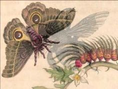Talented artist who influenced natural science - Maria Sibylla Merian