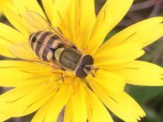 Bulls Eye  Insects, Bee, Creatures, Animals, Honey Bees, Animales, Animaux, Bees, Animal