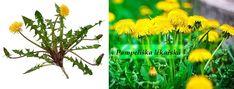 Pampeliška lékařská (latinsky Taraxacum officinale, slovensky púpava lekárska, anglicky common dandelion) je pro zahradníky nepříjemný plevel, ale pro nemocné lidí cennou léčivkou. Kvete v dubnu a v květnu na mezích, loukách a trávnících.Koberec ze žlutých květů nás každý rok na jaře obšťastňuje. Rostlina sevyhýbá mokrým loukám a jiným vlhkým plochám. Vyznačují ji dvěvynikající vlastnosti – léčí choroby žlučníku a jater.... Herb Garden, Herbs, Plants, Herbs Garden, Herb, Plant, Planets, Medicinal Plants
