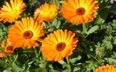 Use of Calendula: This is a wonderful herb that can control extra oil and sebum easily. Calendula often used for medicinal and culinary purposes. Its anti viral and anti bacterial qualities make it very prominent. Blooming Flowers, Calendula Tea, Thyme Herb, Annual Flowers, Tree Seeds, Healing Herbs, Blossom Flower, Flower Petals, Orange Flowers