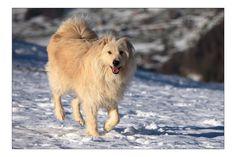 Luke Corgi, Fox, Animals, Doggies, Animais, Corgis, Animales, Animaux, Animal