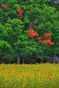 ✮ A field of sunflowers with a changing tree behind