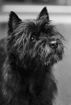 An Exquisite Paradox Cairns, Cairn Terrier Puppies, Fox Terrier, West Highland Terrier, Scottish Terrier, Little Dogs, Mans Best Friend, Dog Pictures, Dog Breeds