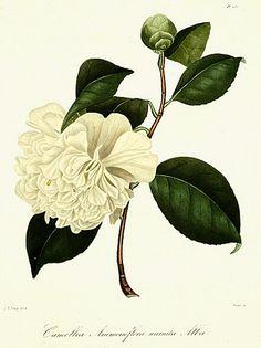 birdcagewalk:  stilllifequickheart:Abbe Laurent Berlese Camellia Anemonaeflora Warratah 1843