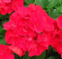 Geranium Zonal Sassy Dark Red