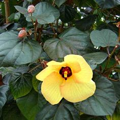 Aussie hibiscus with rich maroon-green foliage and bright yellow flowers. Plant as a screen or hedging plant. Tolerates high wind, salt soil and poor drainage.