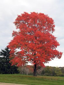 Summers Red Maple