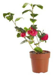 Care For Camellia In Pots – Tips For Growing Camellias In Containers