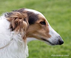 Borzoi - pretty face