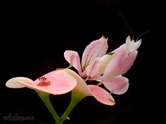 Malaysian orchid mantis. Beautiful disguise to blend in with orchids.