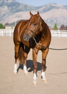 Timed To Smoke Em is a 2011 Quarter horse sorrel stallion by Colonels Smoking Gun x Miss Timed to Shine