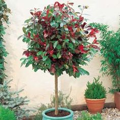 Red Robin - lollipop - evergreen, daisy like flowers in spring, red tinged leaves, sun or part shade. 60cm widex5ft high