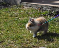 I dont know why people think its weird to walk a rabbit. Its actually an essential part to their health!