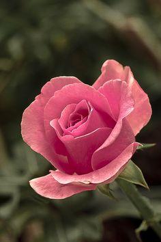 #Rosa / Rose
