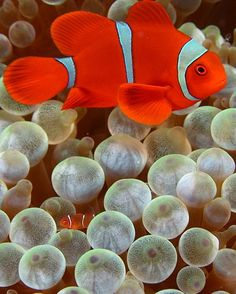 the clown fish - so beautiful, excellent addition to your saltwater tank....