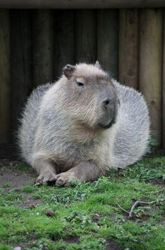 The capybara (Hydrochoerus hydrochaeris) is the largest rodent in the world? It is native to South America.