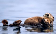 Baby otter sleeping on momma's belly while she floats on her back.