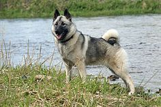 Norwegian Elkhound - A.k.a. Norsk Elghund, Gra Norsk Elghund, Gray Norwegian Elkhound, Small Grey Elk Dog, Norwegian Moose Dog, Harmaa Norjanhirvikoira - Norway - Track and hunt moose and other large game, like bear and wolf