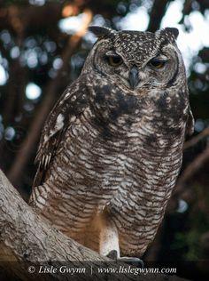 Spotted Eagle Owl - Constantia, Cape Town - 18_04_2011_37 - Copy-2
