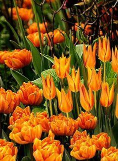 Spring Borders, Bulb Combinations, Perennial Combinations, Tulip Ballerina, Tulip Orange Princess,Tulipa Ballerina, Tulipa Orange Princess, Spring Bloom, Late Spring flowers, Orange tulips