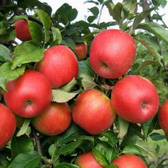 "- How to Grow Honeycrisp Apples Learn how to grow Honeycrisp apple tree. Honeycrisp apples are growing in popularity for their exceptional freshness, sweet taste and crisp and juicy flavor. They are a cross between ""Macoun"" and Honeygold"" apples."