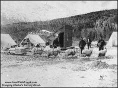 Klondikers with team of Angora goats used to haul sled near Skagway, Alaska, Spring Nigerian Dwarf Goats, Skagway Alaska, Sled, Mink, Horns, Painting, Outdoor, Wool, Spring